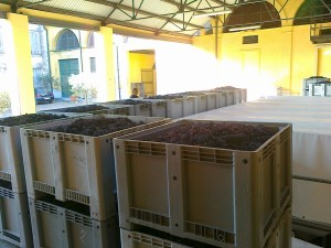 Boxes full of dried grapes for Amrone waiting to be squeezed.