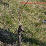 amarone-winter-vines-pruning-5