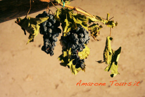 Last bunches of dried grapes for Amarone and Recioto.