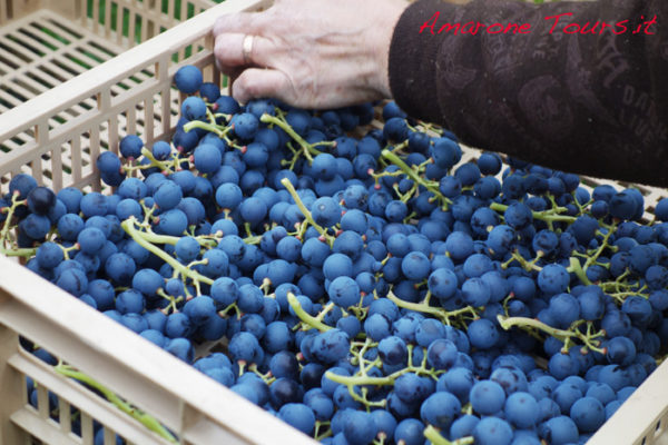 Selection of grapes for Amarone. Bunches are delicately placed on crates where they will stay for 3-4 months.