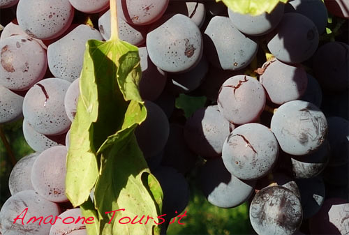 Cracks on swallen berries of Molinara grapes. If juice enters in contact with air, unwanted fermentation starts, mould could develop and it is impossible to dry the grapes for the production of Amarone.