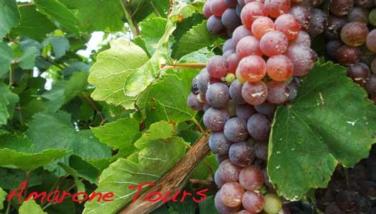 molinara grape varietal