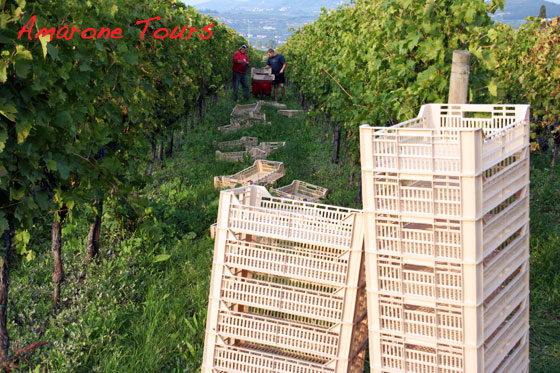 2012 harvest for amarone