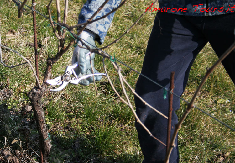 Amarone vines pruning