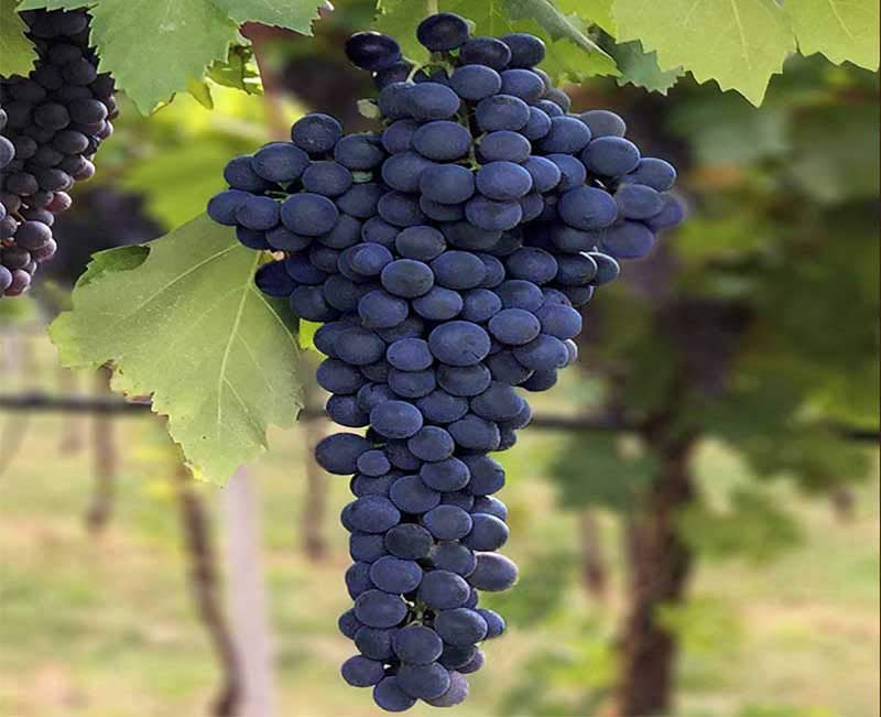 Corvina grape