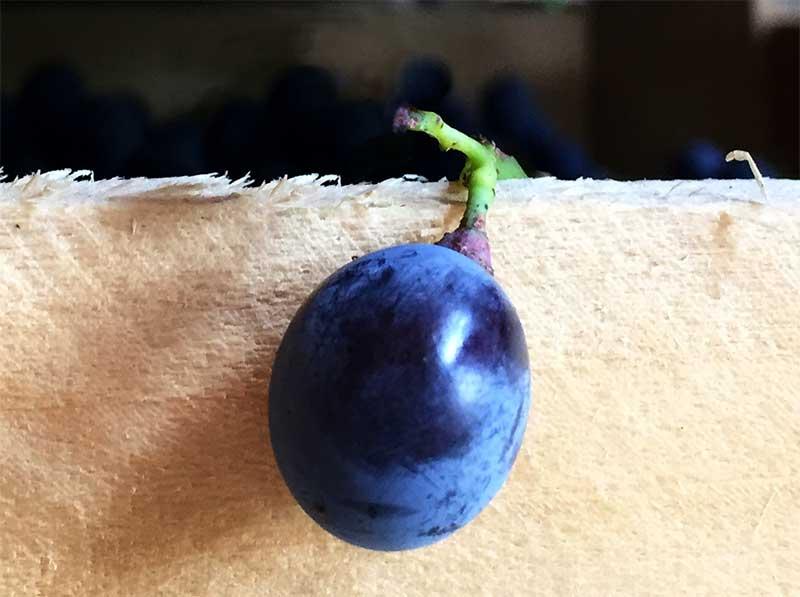 single berry of Corvina grape