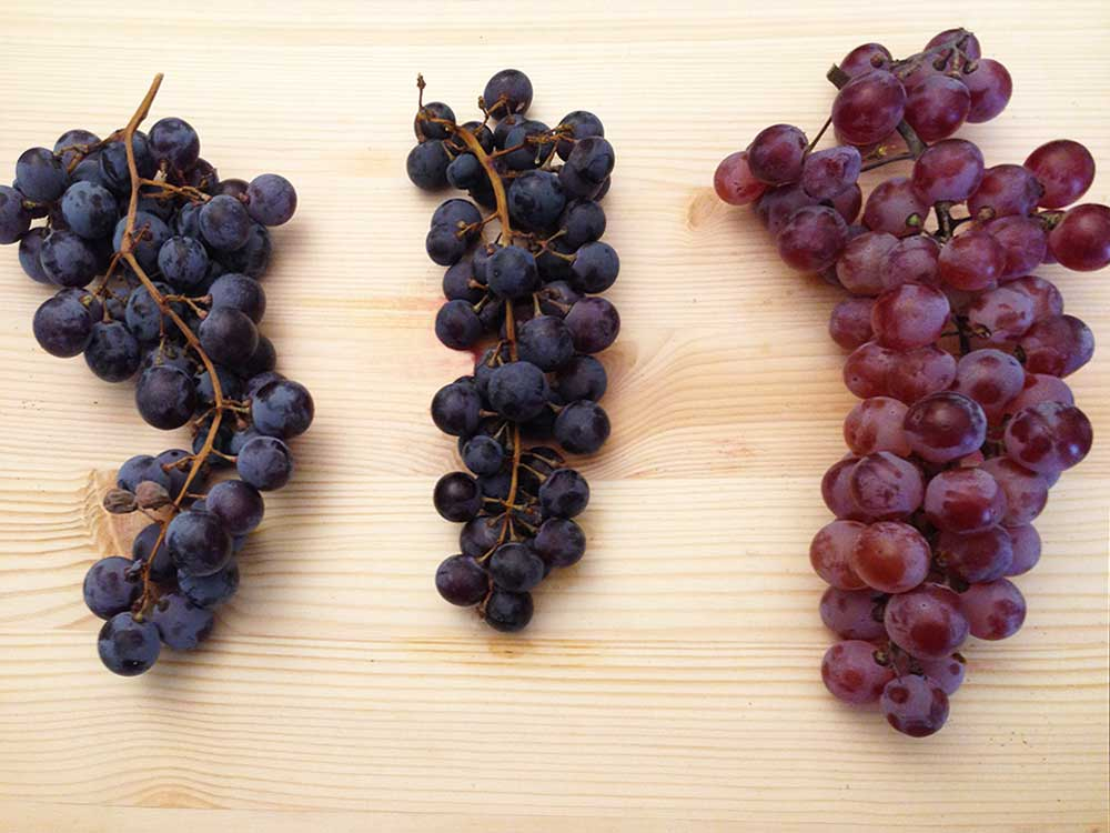 amarone grape varietals
