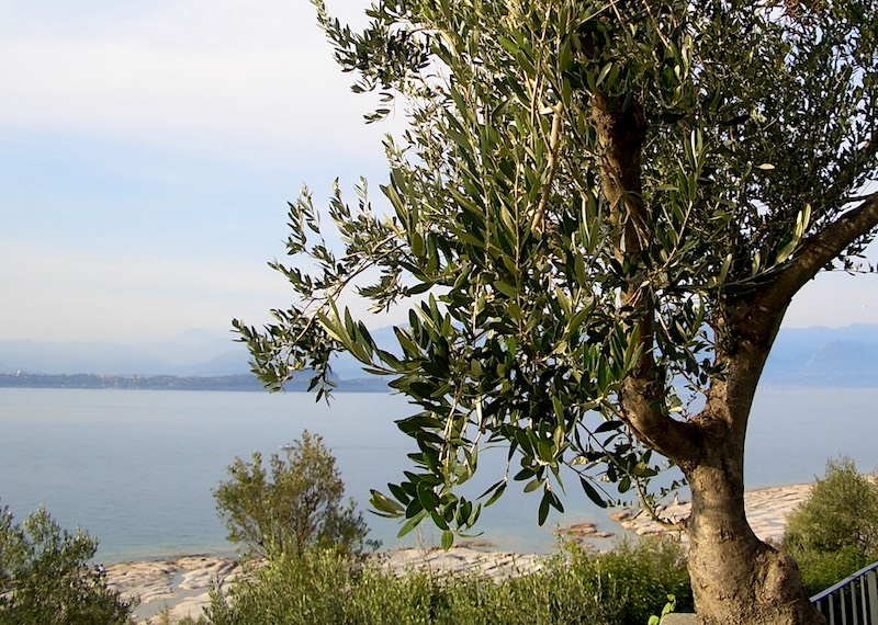olive tree and lake garda